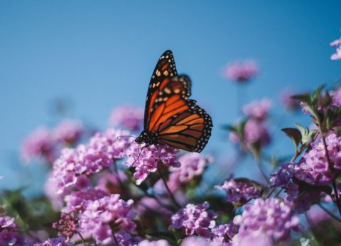 A Monarch butterfly in lavender flowers against a blue sky.